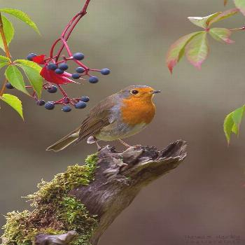 Another robin (forum for nature photographers) Another robin -  Another robin (forum for nature pho