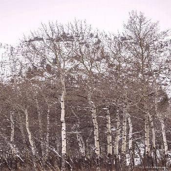 Bright Strong Aspens in Wind: Shoshone National Forest, Wyoming riverwindphotography, February, 201