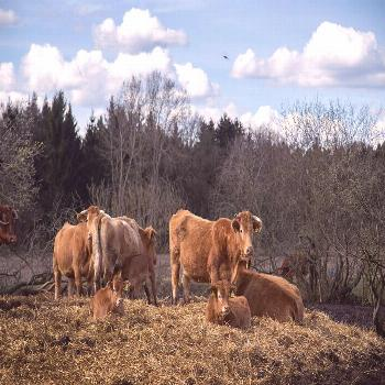 Moo! the cute destination of our easter walk -