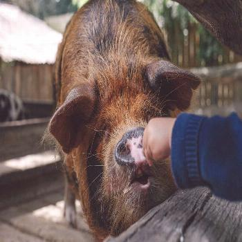 The gentle giant <3this lil´piggy opened its mouth and took the pigfood with its soft lip... -