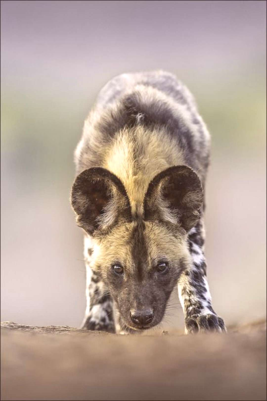 Georg Scharf (forum for nature photographers) - Lycaon pictus (African wild dog – Canidae / dogs