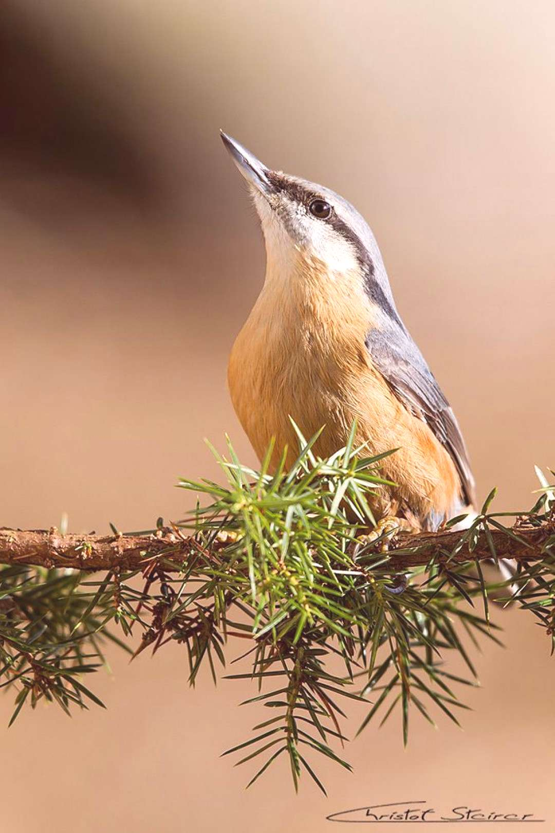 Nuthatch (forum for nature photographers) - nuthatch -