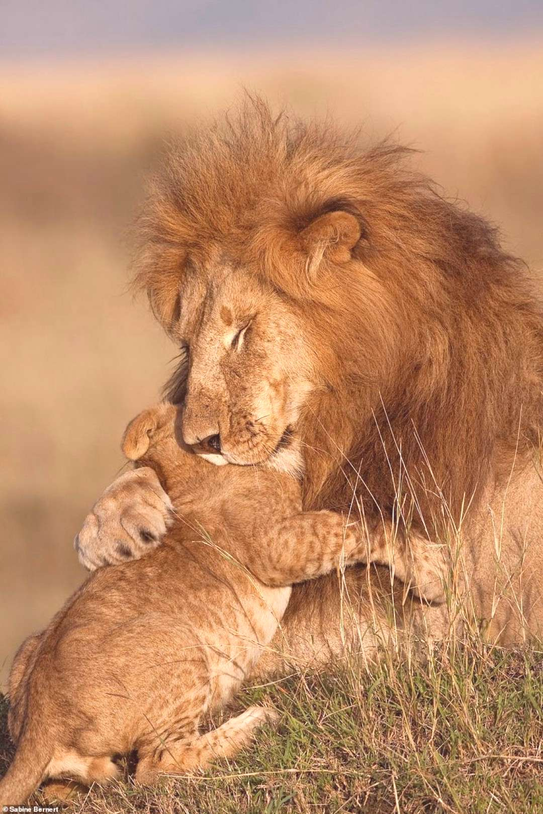 Stunning images of lions in Africa showcase work of 10 photographers - Stunning images of lions in